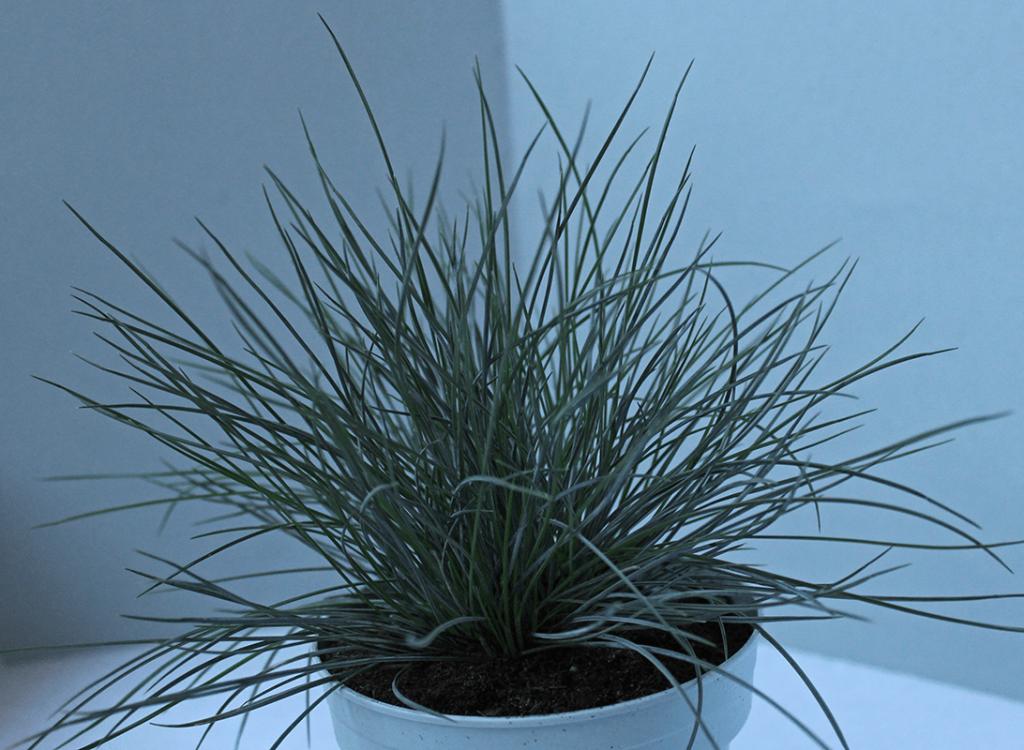 Blaues Grass Blauschwingel
