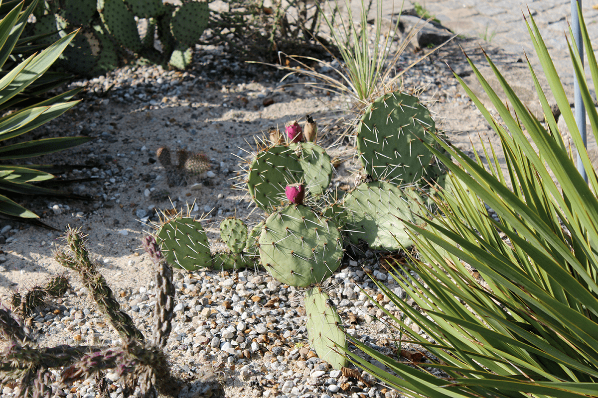 Kaktusfeigen, Baumfarne und Pteridomanie
