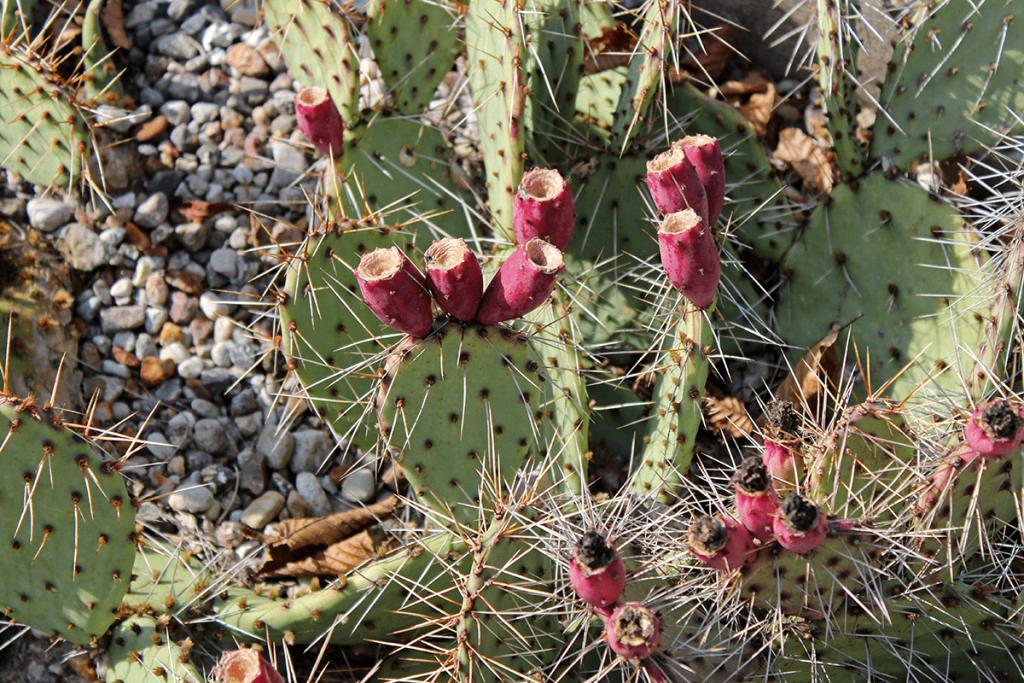 Kaktus mit Kaktusfeigen im Botanischen Garten Berlin