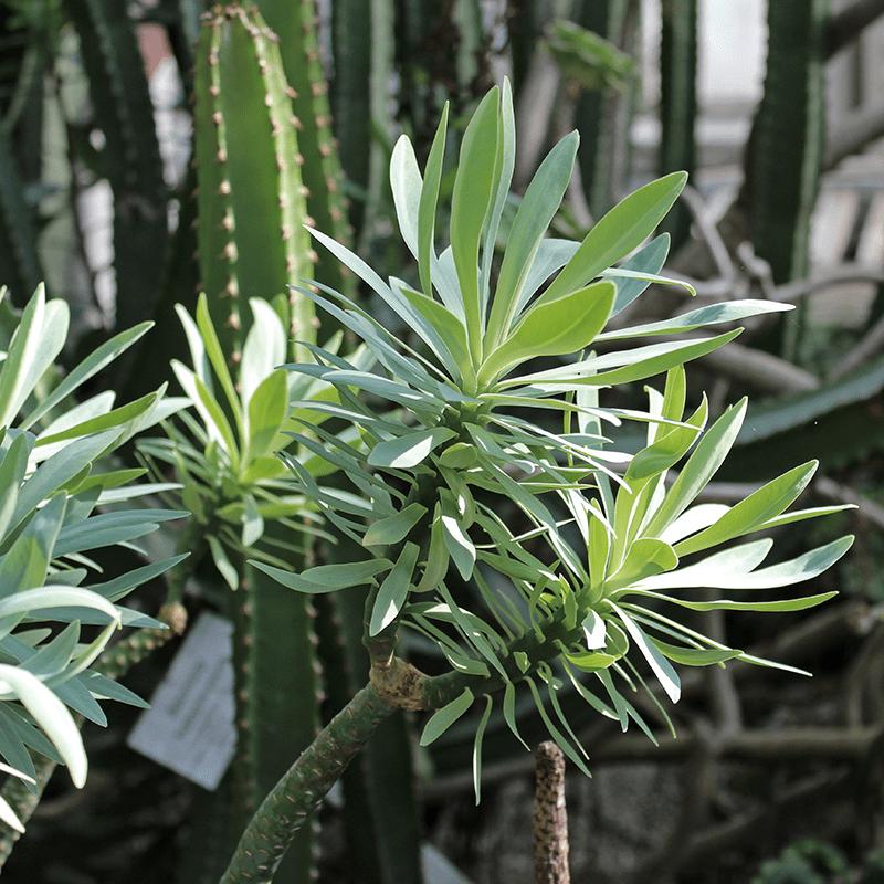 Mittelmeer heimische Pflanzen