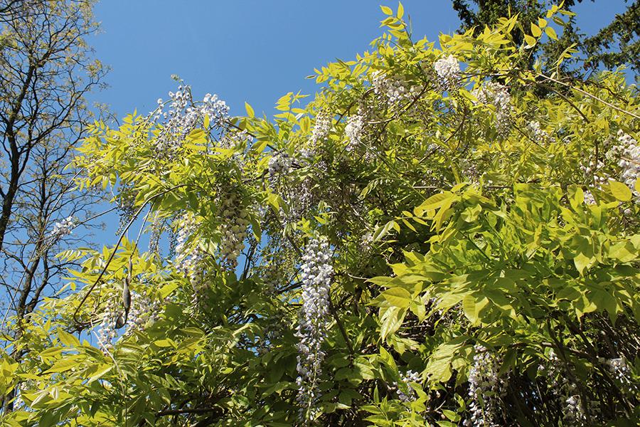 Blauregen Botanischer Garten Berlin