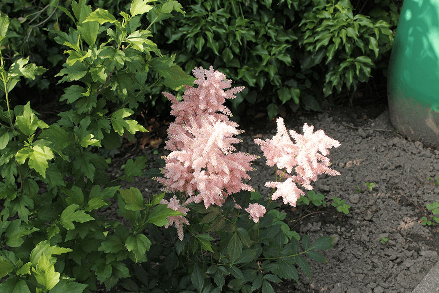 Astilbe Prachtspiere Rosa