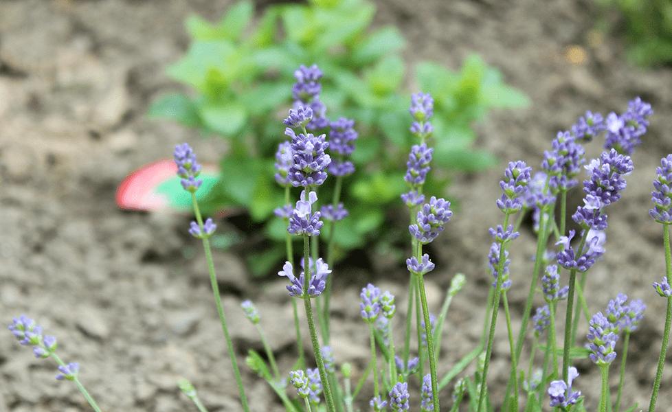 Lavendel augustifolia