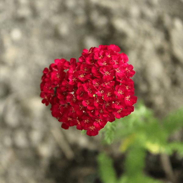 Schafgarbe Pink im Beet
