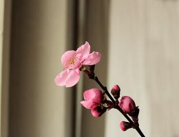 Kirschblüte Pink